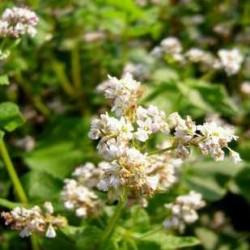 Semences bio: SARRASIN, sachet de 200 g
